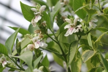 Malabar-flowers