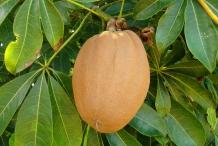 Malabar-fruit