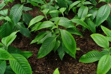 Malabar-nut-leaves