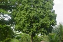 Malabar-nut-tree