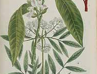 Malabar-plant-illustration