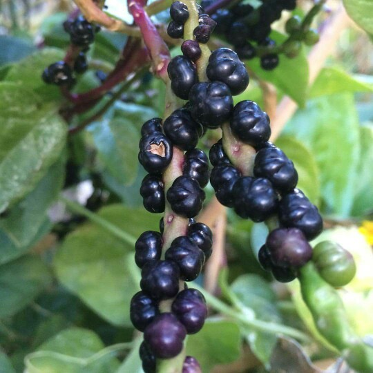 Berries of Malabar spinach