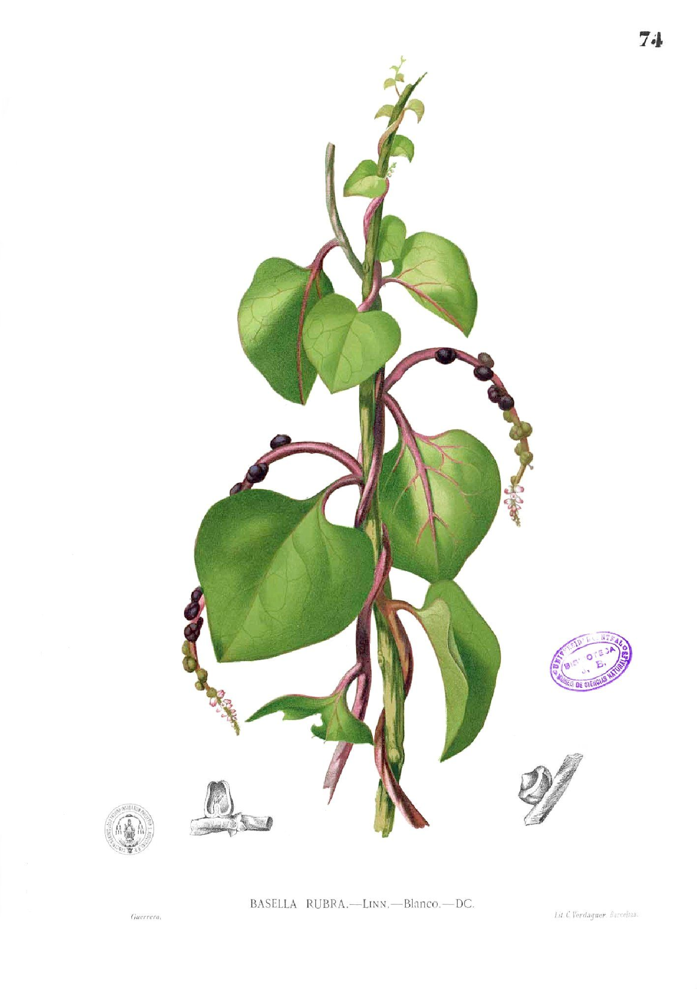 Plant illustration of Malabar spinach