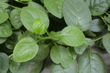 Leaves of Malabar spinach
