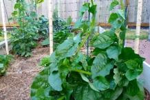 Malabar spinach plant