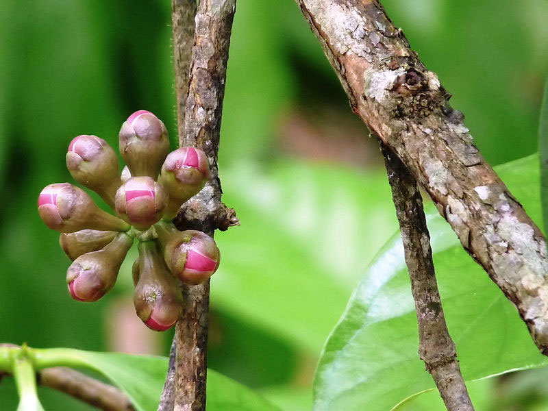 Flowering-buds-of-Malay-Apple