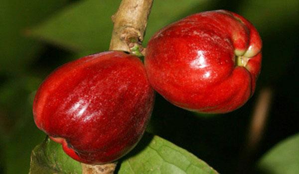 Mature-Malay-Apple-on-the-tree
