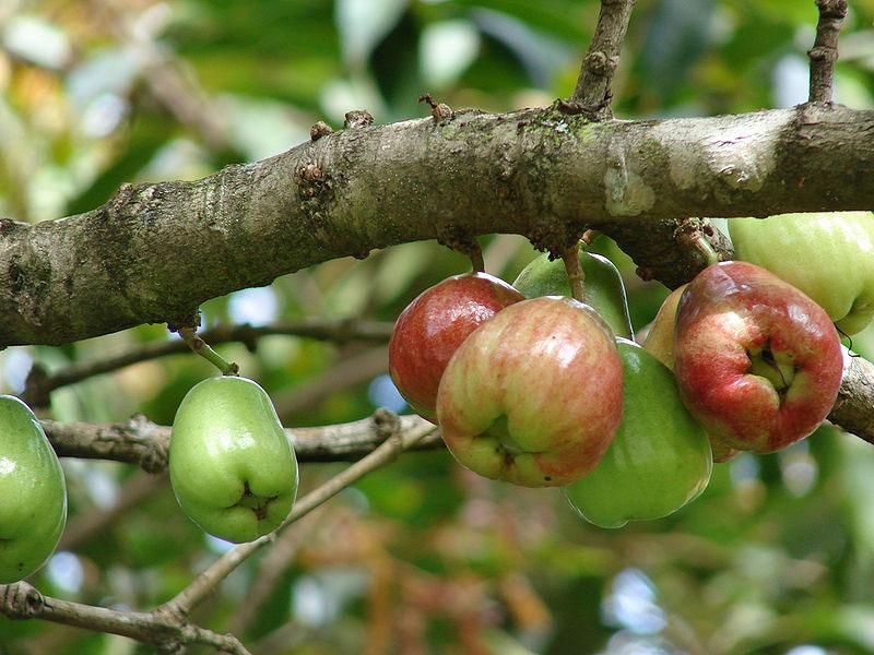 Unripe-fruits-of-Malay-Apple