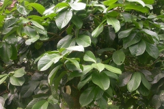Leaves-of-Malay-Apple