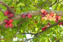 Malay-Apple-Tree
