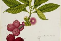 Plant-Illustration-of-Malay-Apple