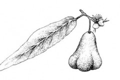 Sketch-of-malay-Apple