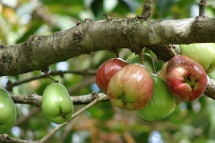 Unripe-fruits-of-Malay-Apple