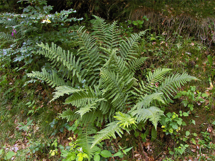 Male-Fern-Plant-growing-wild