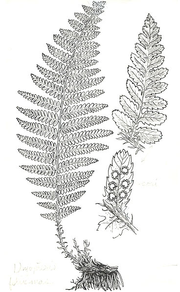 Sketch-of-Male-Fern