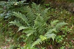 Male-Fern-Plant-growing-wild