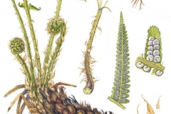 Plant-illustration-of-Male-Fern