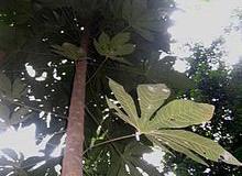 Malva-Nut-Tree