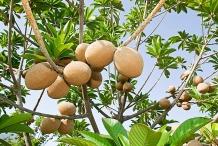 Mamey-sapote-fruit