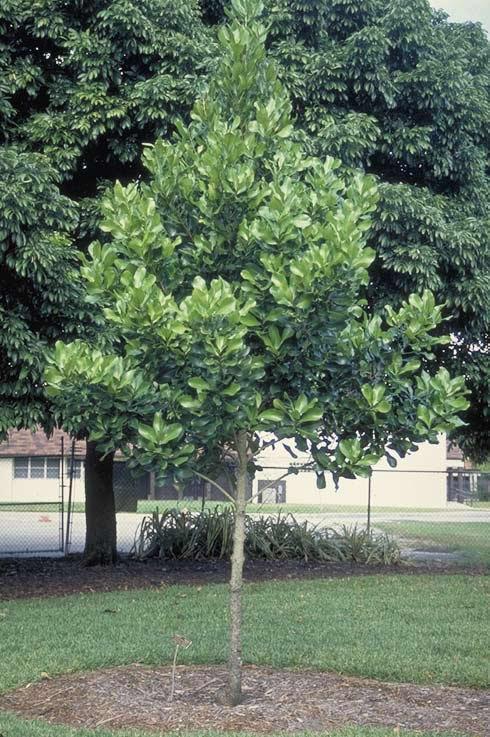 Mammee-apple-tree