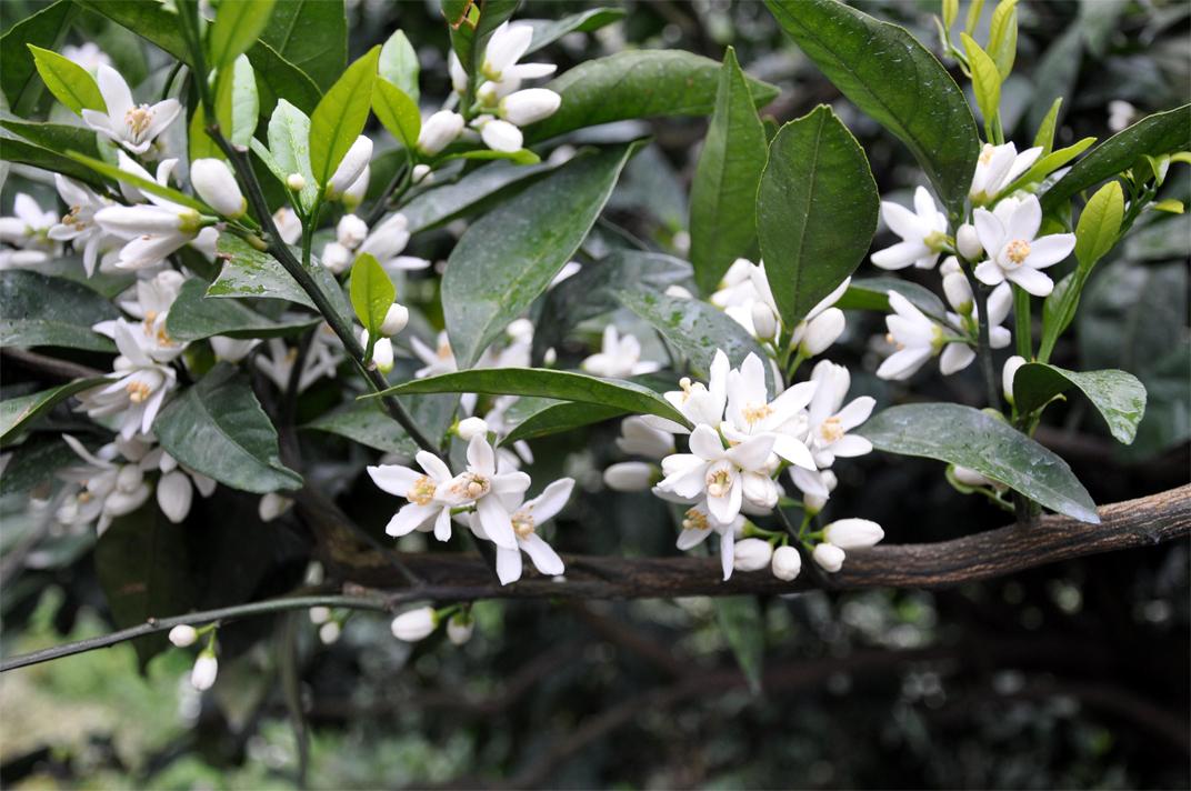Flowers-of-Mandarin-orange