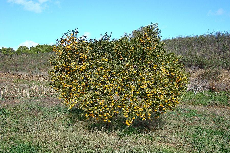 Mandarin-orange-tree