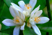 Close-up-flower-of-Mandarin-orange