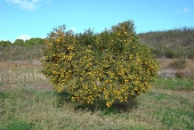 Mandarin-orange-tree