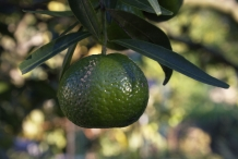 Unripe-Mandarin-orange