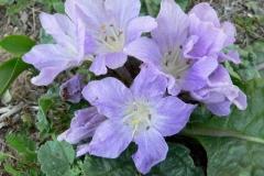 Flowers-of-Mandrake