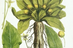 Plant-illustration-of-Mandrake