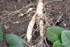 Roots-of-Mandrake