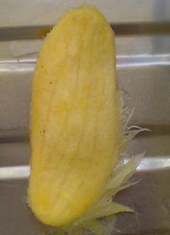 Mango-seed-5