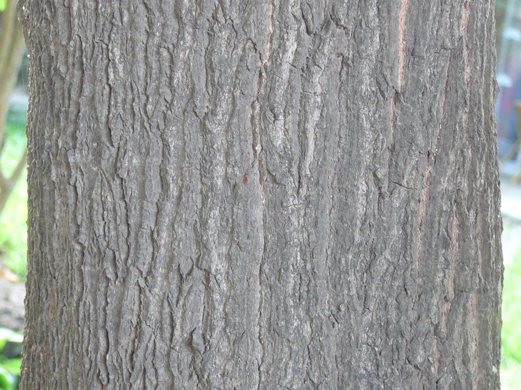 Mango-bark