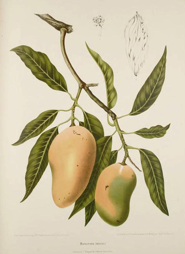 Mango-illustration
