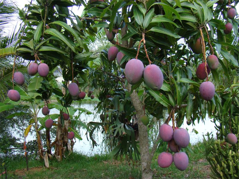 Mango-in-the-tree