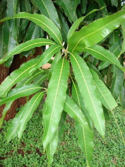 Mango-leaves