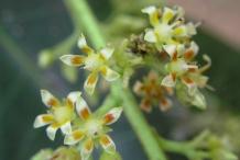 Close-up-flower-of-Mango