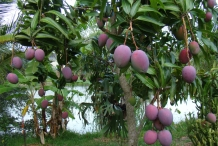 Mango-in-the-tree