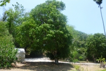 Mangoes-tree
