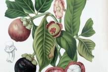 Plant-illustration-of-Mangosteen