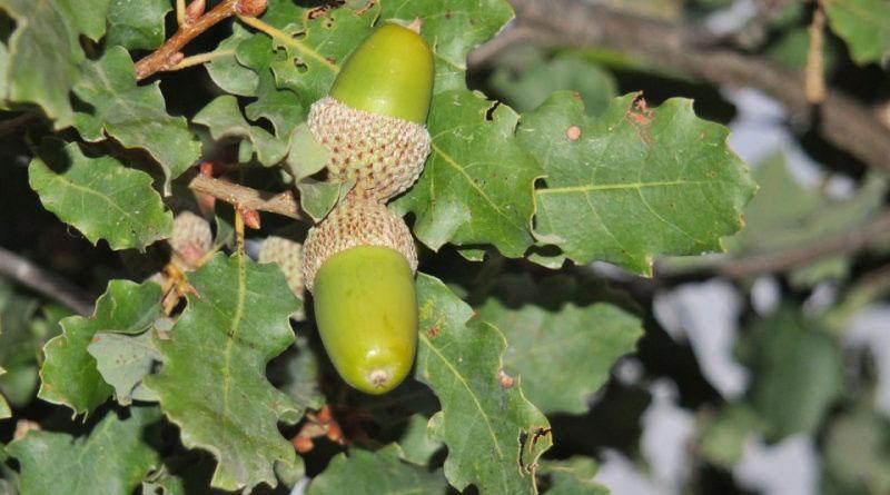Fruits-of-Manjakani