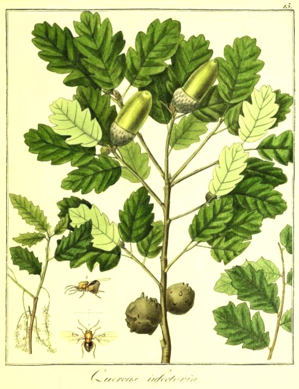 Plant-Illustration-of-Manjakani