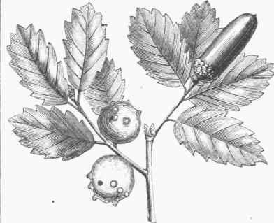 Sketch-of-Manjakani