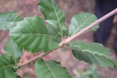 Leaves-of-Manjakani