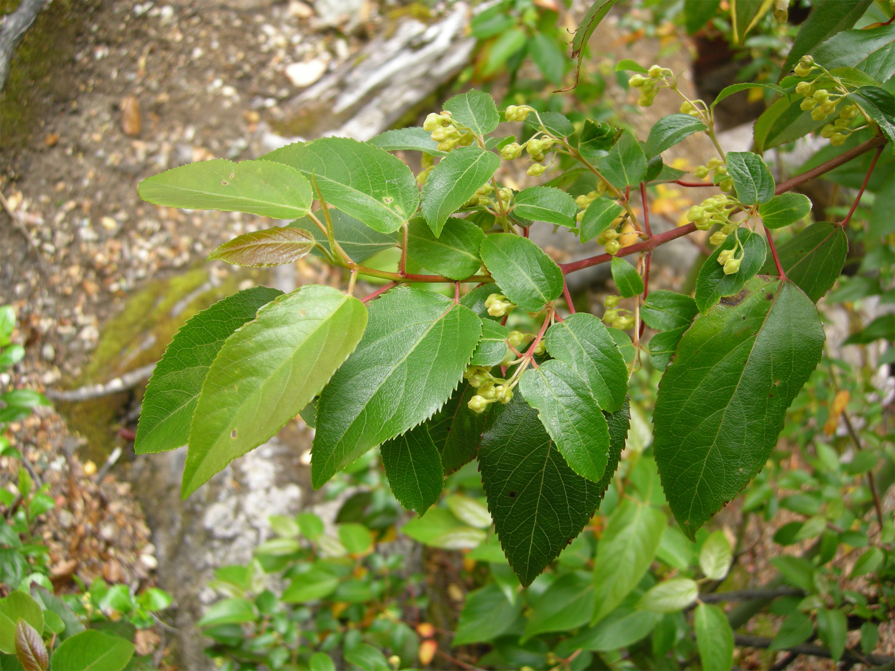 Maqui Berry Facts And Health Benefits