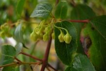 Maqui-berry-flower