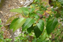 Maqui-berry-leaves