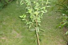 Maqui-berry-plant