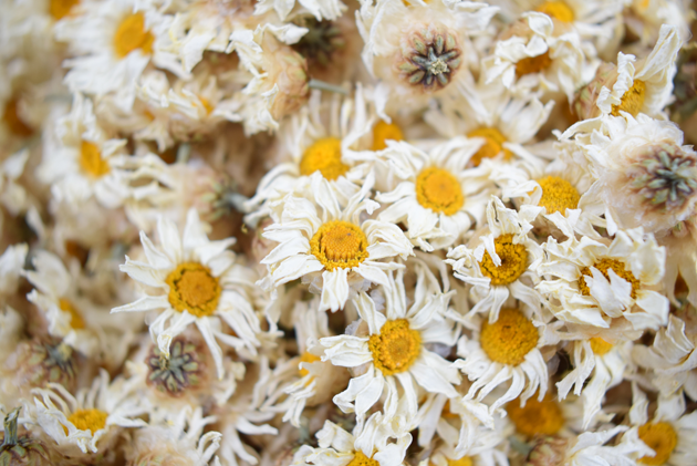 Dried-Marguerite-Daisy-flower
